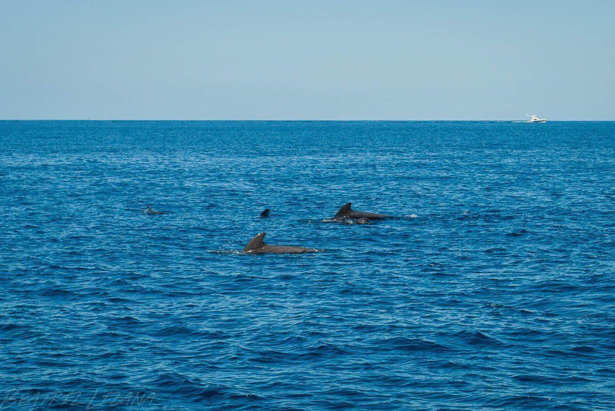 grupo de delfines mulares y ballenas piloto